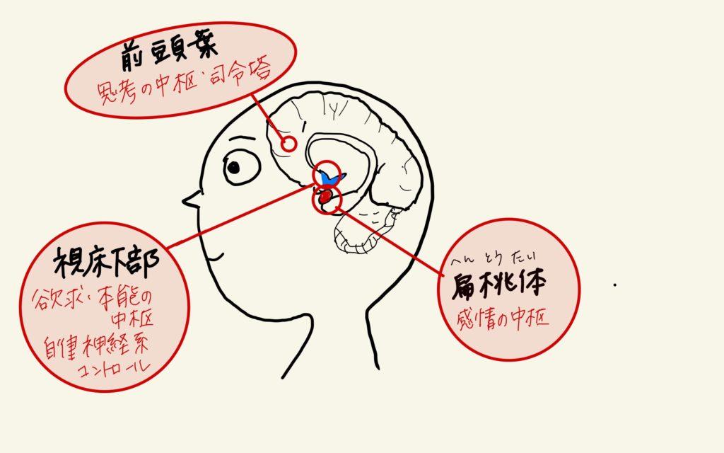 脳の図 前頭葉、視床下部、扁桃体